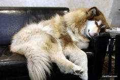 A Resort, a Dog, and a Spa #TheHeidiGuide #malamute