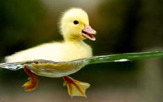 """""""Try to be like a duck, with its joyful body paddling along in the loving water of the river. Just enjoy that"""" -that delight in buoyancy. There's a kind of happy ease.  ~Rumi"""
