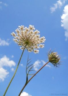 Queen Anne's Lace in the deep blue sky