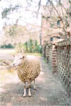Middleton Place Plantation on Kodak Portra 400 film by Catherine Ann Photography Magnolia Plantation, Portra 400, Kodak Portra, Middleton Place, Sheep And Lamb, Wedding Venues, Ann, Charleston Sc, Charleston