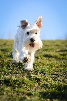 Ranked as one of the most popular dog breeds in the world, the Miniature Schnauzer is a cute little square faced furry coat. Schnauzers, Schnauzer Breed, Mini Schnauzer Puppies, Silly Dogs, Big Dogs, Cute Dogs, White Miniature Schnauzer, All Types Of Dogs, Most Popular Dog Breeds
