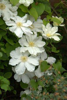 Organic Garden Dreams: Mottisfont Abbey - a Rose Lover's Paradise III