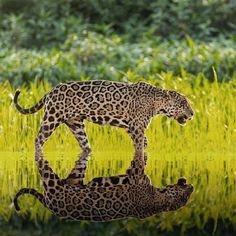 Reflection Photography, Underwater Photography, Nature Photography, Wildlife Nature, Nature Animals, Domestic Cat, Animals Of The World, Ocean Life, Pantanal