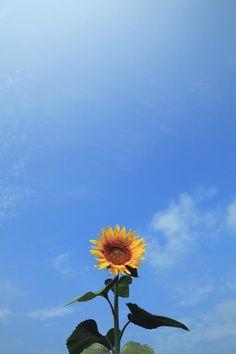 Japan, Miyagi Prefecture, Sanbongi-cho, Low Angle View Of Sunflower