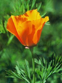 Eschscholzia californica | Backyards Click