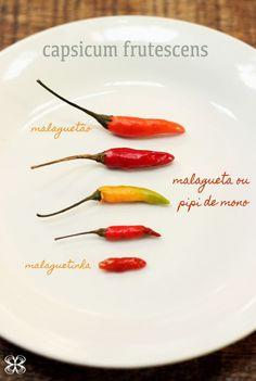 capsicum frutescens - pimenta espécie frutescens