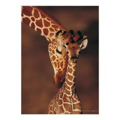 #Miscellaneous #Zazzle #shopping #sofiprice Adult Giraffe with calf (Giraffa camelopardalis) Posters - https://sofiprice.com/product/adult-giraffe-with-calf-giraffa-camelopardalis-posters-160345184.html