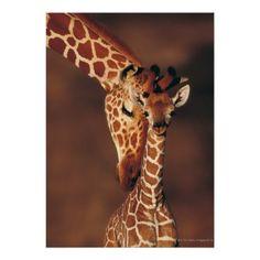 Erwachsene Giraffe mit Kalb (Giraffa camelopardali