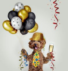 poodle, nowy rok, new year