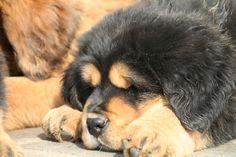 Merlot Most Expensive Dog, Tibetan Mastiff, Large Dog Breeds, Animals, Wolves, Dogs, Animales, Animaux, Big Dog Breeds