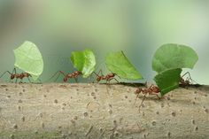 "Leaf-cutter ants or Bachacs ( Atta cephalotes ) carrying leaf ... I watched these ants ""work"" in Belize. Fascinating!"