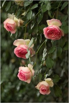 """Live now, believe me, wait not till tomorrow. Gather the roses of life today."" ~ Pierre de Ronsard (French poet for whom the Pierre de Ronsard rose is named)."