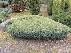 Juniperus | Dendroart