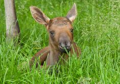 How can you not love this face? | Important PSA: Baby Moose Are Insanely Precious