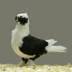 Pigeon Pictures, Bird Pictures, Animal Pictures, Pigeon Breeds, Pigeon Loft, Dove Pigeon, Black And White Birds, Dove Bird, All Birds