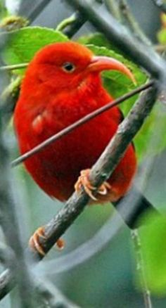 The Iiwi (Hawaiian HoneyCreeper)