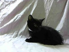 NYACC **URGENT** ADORABLE FLUFFY BLACK BABY*  TO BE DESTROYED 7/27/14 Manhattan Center  My name is GWENDOLYN. My Animal ID # is A1007682. I am a male black domestic sh mix. The shelter thinks I am about 7 WEEKS old.  I came in the shelter as a STRAY on 07/22/2014 from NY 10463, owner surrender reason stated was STRAY. I came in with Group/Litter#K14-186980.  https://m.facebook.com/photo.php?fbid=837025782975922&id=155925874419253&set=a.576546742357162.1073741827.155925874419253&source=43