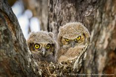#visipixcollections Strix Nebulosa, Great Grey Owl, Great Horned Owl, West Bengal, Pictures Of The Week, Baby Owls, Angry Birds, Birds Of Prey, Animal Photography