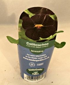 KGP Calibrachoa Can-Can Black Cherry Starter Plant
