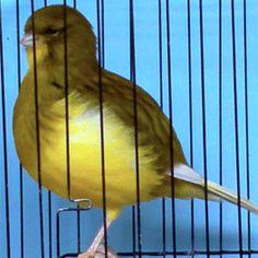 Gallery | Heathcote's Borders Canary Birds, Serin, Beautiful Creatures, Pet Birds, Fancy, Gallery, Animals, Birds, Roof Rack