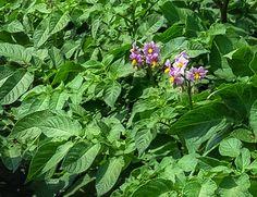 10 legume care cresc la umbra Musca, Colorado, Herbs, Plants, Aspen Colorado, Herb, Plant, Skiing Colorado, Planets