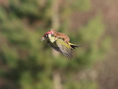 This is what the photographer has to say about the picture of a weasel riding a woodpecker - Nature - Environment - The Independent