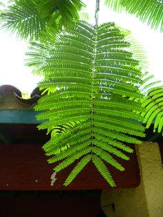 Delonix regia (Bojer ex Hook. Delonix Regia, Acacia, Plant Leaves, Tutorials, Tattoos, Inspiration, Plants, Biblical Inspiration, Tatuajes