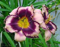Photo of Daylily (Hemerocallis 'Always Baroque') uploaded by Calif_Sue