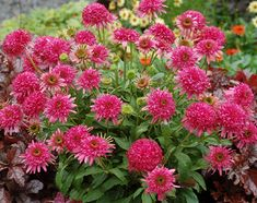 ECHINACEA CRANBERRY CUPCAKE PP23,020 - Double, bright cranberry-rose coneflower with a short, full habit. Very free flowering from midsummer to early fall. Fragrant blooms attract butterflies, make wonderful cut flowers, z4-8