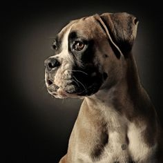Look at that adorable boxer puppy-face :) Boxer And Baby, Boxer Love, Boxer Puppies, Dogs And Puppies, Doggies, I Love Dogs, Cute Dogs, Puppy Face, Mans Best Friend