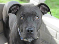 NEON (A1147008) SPAYED FEMLE , BLACK AND WHITE PIT BULL MIX, Additional info: TREATING EARS Age: 2 YEARS   This animal has been at the shelter since 11/03/2013. Review Date: 11/17/2013 OC ANIMAL CARE, 561 The City Drive South, Orange, CA 92868, 714-935-6848 https://www.facebook.com/photo.php?fbid=10153428771685223&set=a.10153480691390223.1073741924.315830505222&type=3&theater