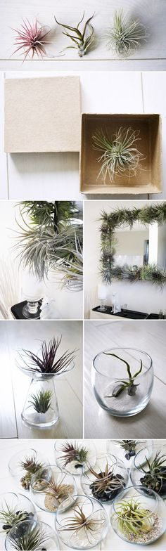 A little quirky, a little odd, a little out-of-the-ordinary, I have fallen in love with the little botanical delights called Air Plants, and can't stop thi