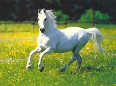 Here's a white horse for @Abbey Booher ............. WATCH OUT WORLD........ :P