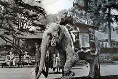 The elephant Rosie was a former circus animal acquired by the zoo in she was very tame and gave rides on her howdah to thousands of children every year. She is seen here in the company of Tom Bartlett, the elephant keeper. Rosie died in . Bristol City Centre, Bristol Zoo, Bristol Fashion, Old Lorries, Bristol England, Elephant Ride, Hill Station, Local History, Somerset