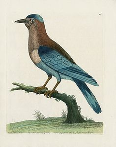 Albin Pica Glandaria Capensis, Jay from the Cape of Good Hope USD $245 Eleazar Albin Copper Plate Engravings Natural History Birds 1731