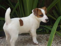 My new Jack Russell puppy Miss Emmy! =D