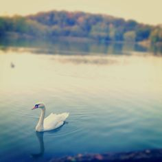 Swan, Lake