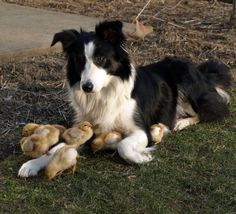 "A Border Collie Dog With Young Chicks ~ He's Quite: ""The Chick Magnet! Border Collie Puppies, Collie Dog, Border Collie Humor, Animals And Pets, Funny Animals, Cute Animals, Border Collie Welpen, I Love Dogs, Cute Dogs"