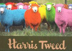 harris tweed advert sheep - Google Search