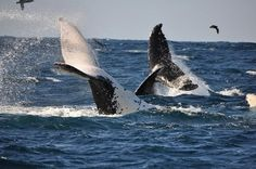 Come to South Africa and experience some wonderful whale watching on our coast.