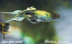 Resultado de imagen para clases de peces guppys