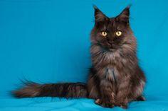 3 januari 2015: 3 Jaar en 3 maand oud. Maine Coon Maine Coon Kittens, Pin Pics, Anubis, Domestic Cat, Animals, Animales, Animaux, Animal, Animais