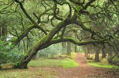 Oaks over trail in Joaquin Miller Park, Oakland, California