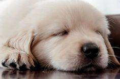 Lady cucciolo di Golden Retriever
