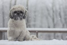 Adorable white Shih Tzu in the snow.