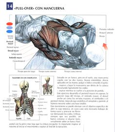 Este ejercicio desarrolla el grosor del pectoral mayor, la porción larga del tríceps, el redondo mayor, el dorsal ancho así como los serratos mayores, el romboides y el pectoral menor.