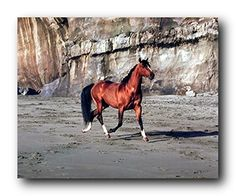 Impact Posters Gallery Framed Wall Decor Arabian Horse Running on Beach Animal Black Picture Art Print