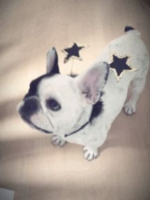 French Bulldog, gif Created with http://cinemagra.am