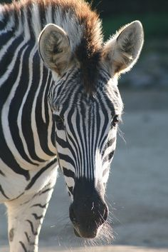 Zebra, Taronga Zoo by boof13, via Flickr ♣️Fosterginger.Pinterest.Com♠️ More Pins Like This One At FOSTERGINGER @ PINTEREST 🖤No Pin Limits👈🏿Follow Me on Instagram @  👉🏿FOSTERGINGER75👈🏿 and 👉🏿ART_TEXAS👈🏿