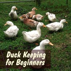 Beginner s Guide to Raising Ducks Raising ducks is a beneficial and rewarding experience. Not only are they healthier than chickens but they tend to be better layers than many breeds. They may just be the ideal poultry for beginning homesteaders. Backyard Ducks, Backyard Poultry, Backyard Farming, Chickens Backyard, Backyard Barn, Backyard Landscaping, Keeping Ducks, Keeping Chickens, Raising Chickens
